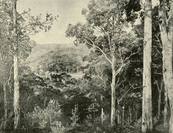 "'The Blue Mountains', 1901. Eucalyptus forests in the Blue Mountains west of Sydney in New South Wales, inhabited for millennia by the Gundungurra people. From ""Federated Australia"". [The Werner Company, London, 1901]"