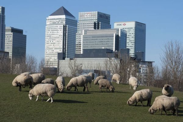 Docklands and Canary Wharf, London, England, UK, 2/3/10. Sheep at Mudchute Farm with Canary Wharf in the distance. Docklands, London, E14, England, UK