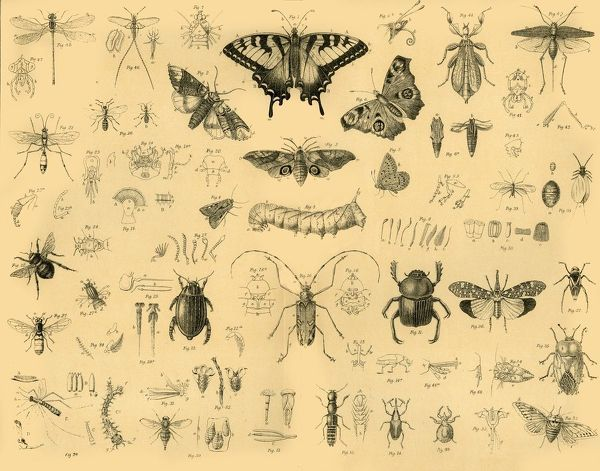 'Insects', c1910. Insects, invertebrates with exoskeletons, are the most diverse group of animals, over 90% of all animal life forms on Earth are insects
