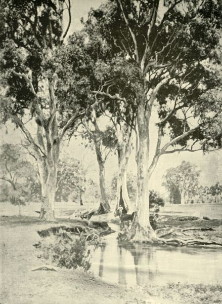 "'Old Gums, Mt. Crawford, South Australia', 1901. Eucalyptus trees, native to Australia. From ""Federated Australia"". [The Werner Company, London, 1901]"