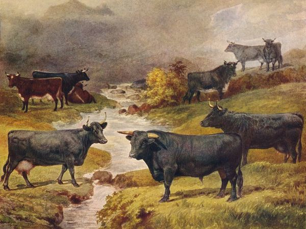 Welsh Black cattle, c1906 (c1910). From Live Stock in Health and Disease, edited by Professor J Prince-Sheldon. [The Waverley Book Co., Ltd, London, c1890]