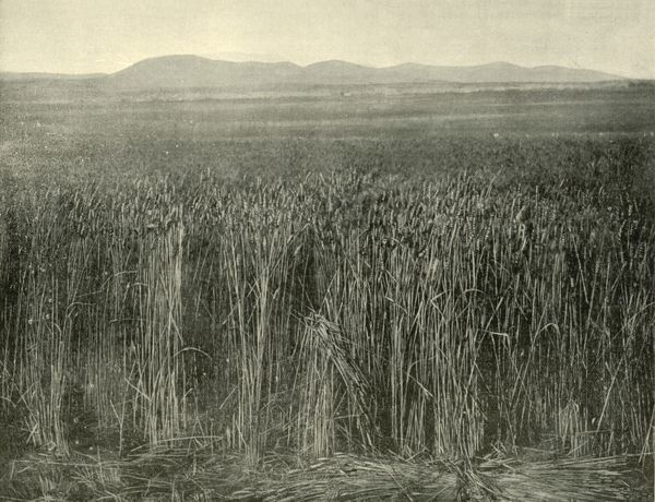 'Wheat Field, Canning Downs, Queensland', 1901. Canning Downs was the first residence built on Darling Downs, a name given in 1827 by Allan Cunningham, the first European explorer to reach the area after the then Governor of New South Wales, Ralph Darling