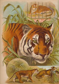 'The Tiger', c1900. Artist: Helena J. Maguire